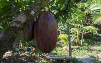 cacao bean medellin
