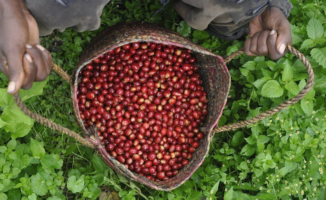coffee in Minca